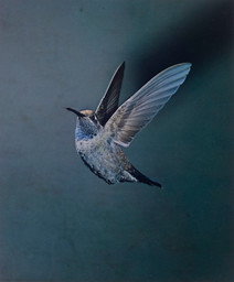 Eliot Porter. Blue-throated Hummingbird, Chiricahua Mountains, Arizona, May 1959 [Lampornis clemenciae]. 1959. Dye transfer print, 9 5/16 × 7 3/4″ (23.7 × 19.6 cm). The Museum of Modern Art, New York. Gift of David H. McAlpin. © 1990 Amon Carter Museum of American Art