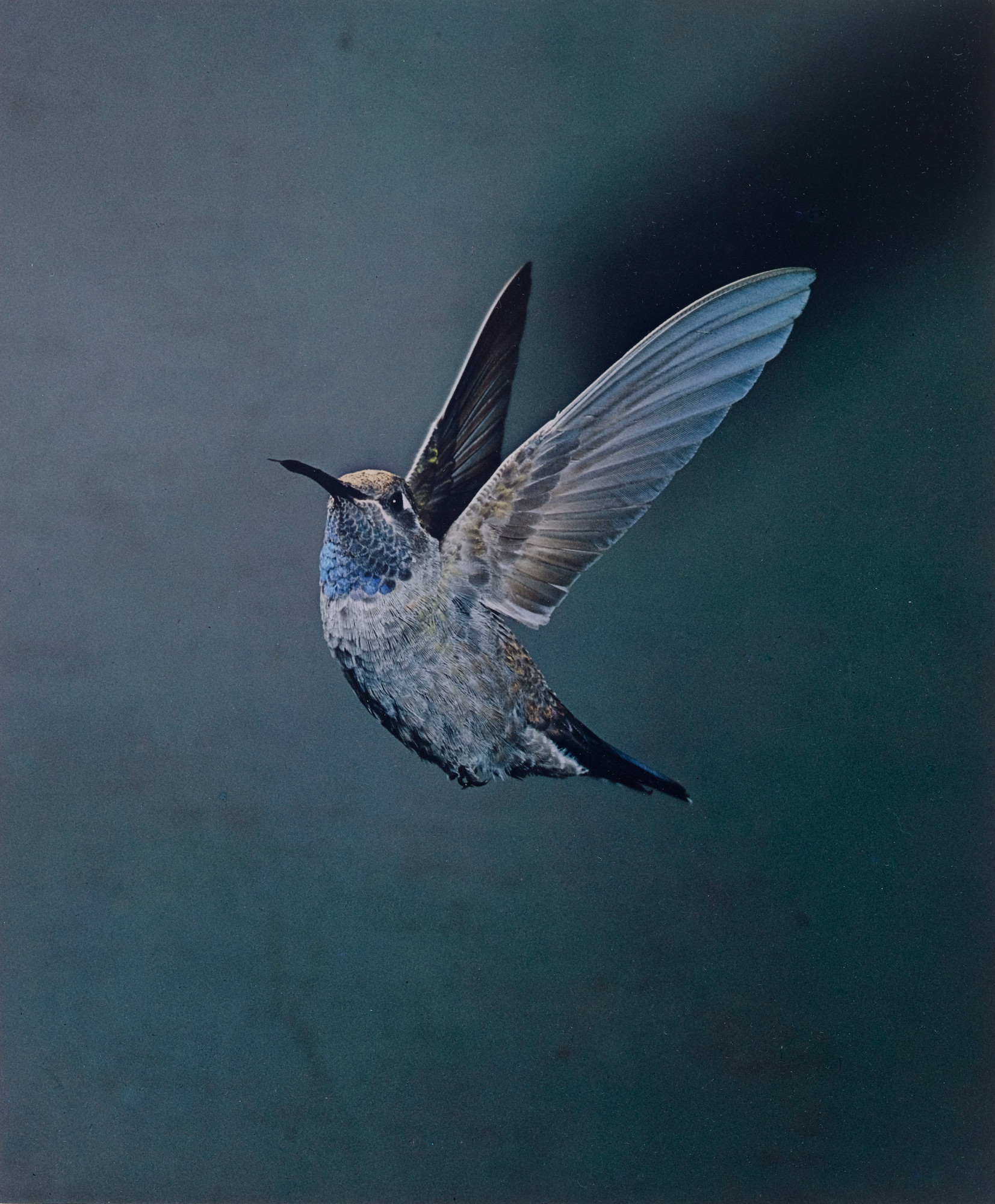 Eliot Porter. Blue-throated Hummingbird, Chiricahua Mountains, Arizona, May 1959 [Lampornis clemenciae]. 1959. Dye transfer print, 9 5⁄16 × 7 3/4″ (23.7 × 19.6 cm). The Museum of Modern Art, New York. Gift of David H. McAlpin. © 1990 Amon Carter Museum of American Art