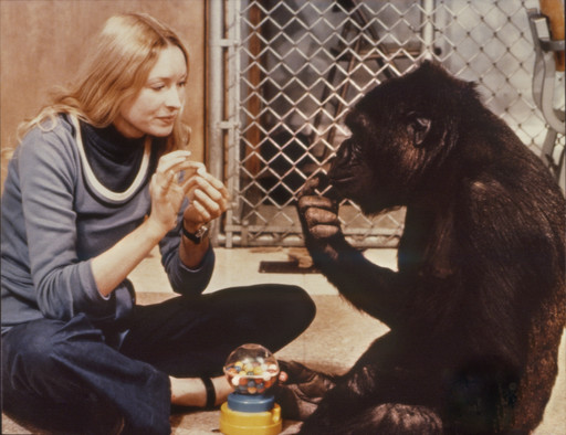 Koko: A Talking Gorilla. 1978. France. Directed by Barbet Schroeder. Courtesy Les Films du Losange