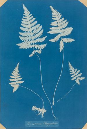 "Anna Atkins. Polypodium Phegopteris. 1850–54. Cyanotype, 12 3/4 x 8 5/8"" (32.4 x 22 cm). David H. McAlpin Fund"