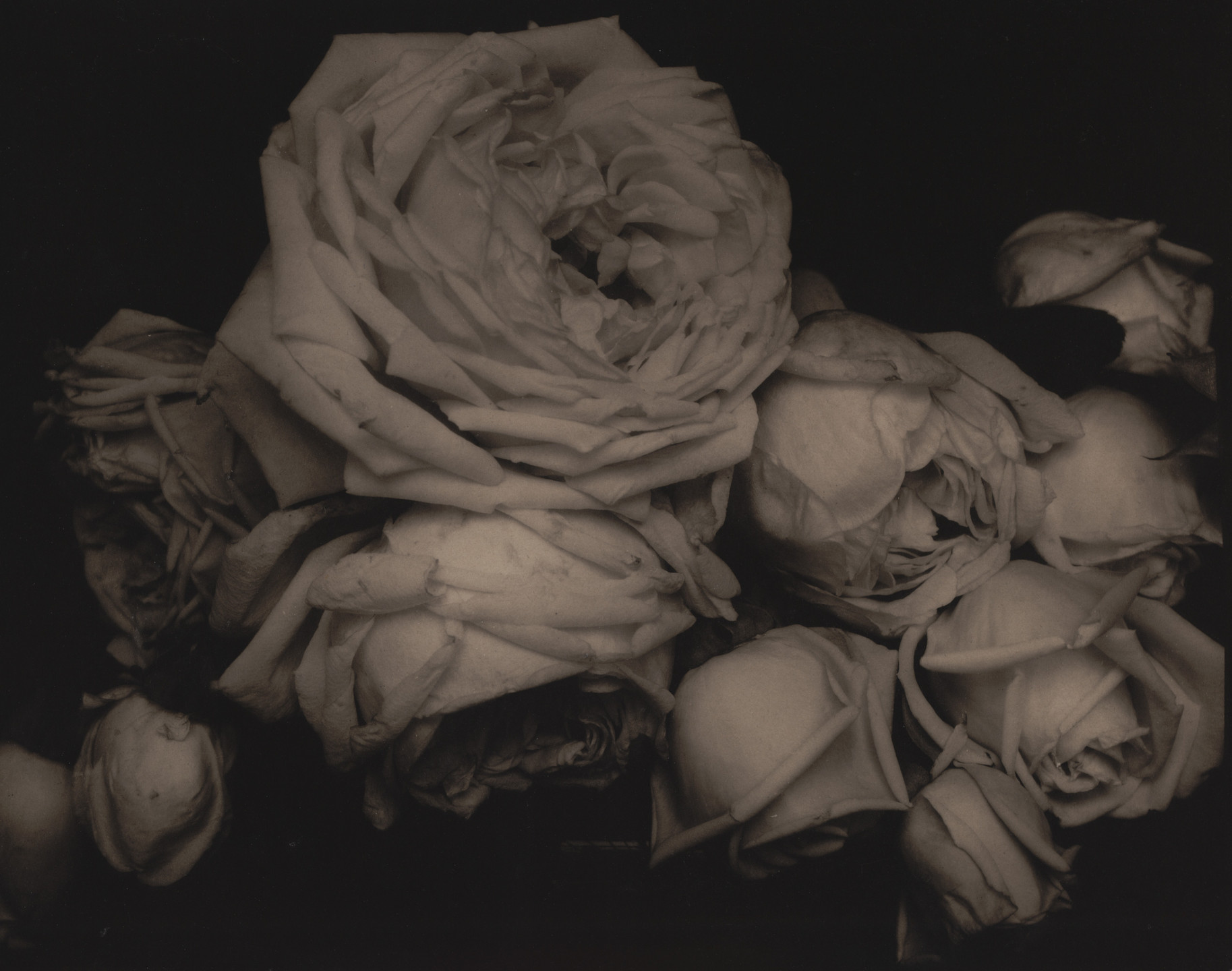 Edward Steichen. Heavy Roses, Voulangis, France. June 1914