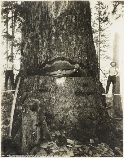 Darius Kinsey. Felling a Fir Tree 51 Feet in Circumference, Measured Four Feet from the Ground. From the Undercut to the Ground Is Ten Feet, Indicating Early-Day Logging. 1906