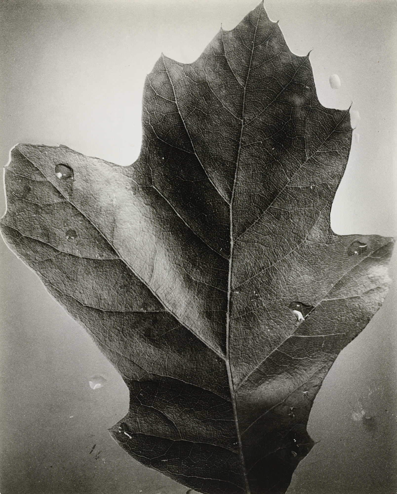 Berenice Abbott. Leaf, Supersight. 1940s