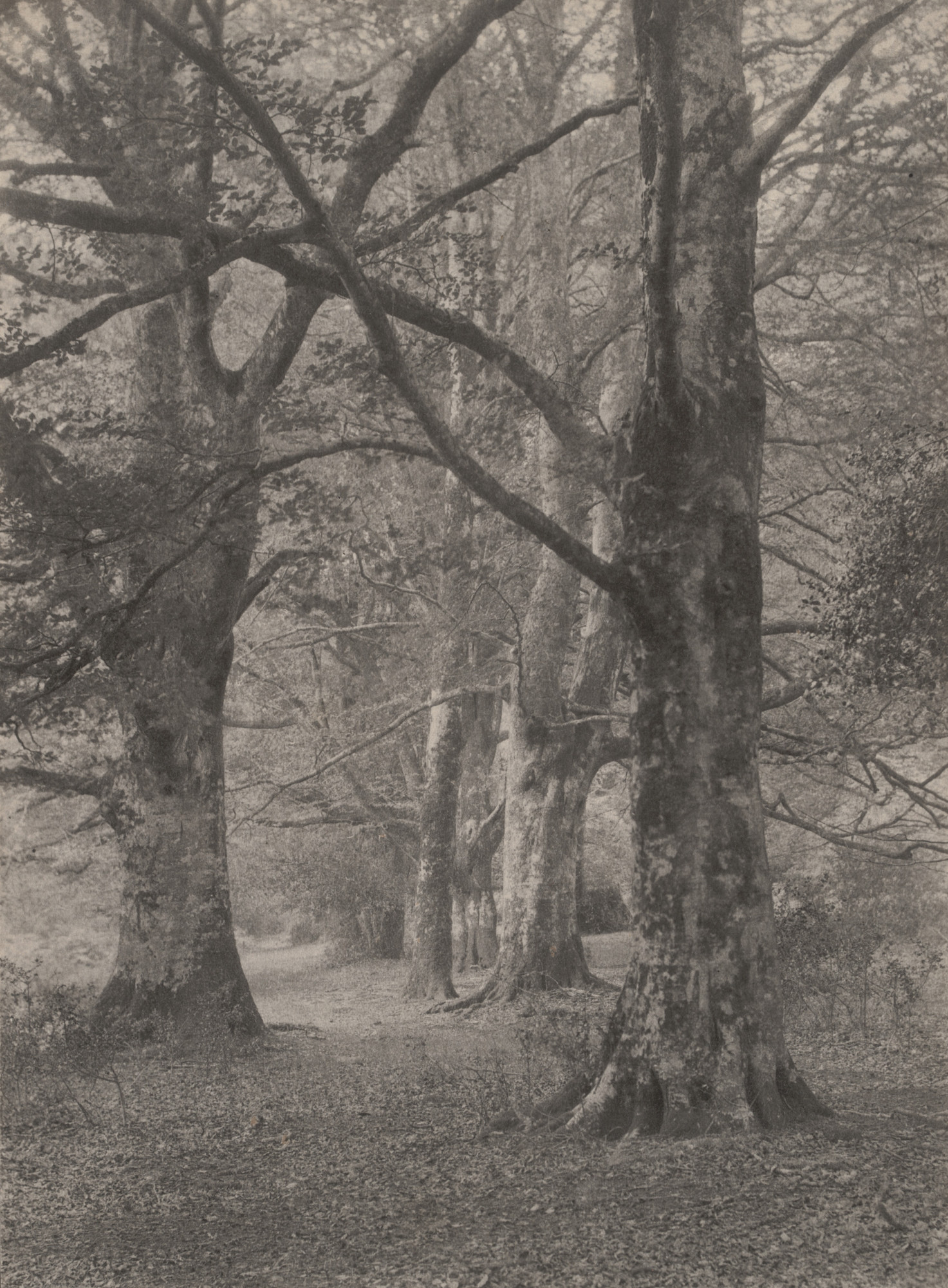 Frederick H. Evans. A Glade in the New Forest. 1891