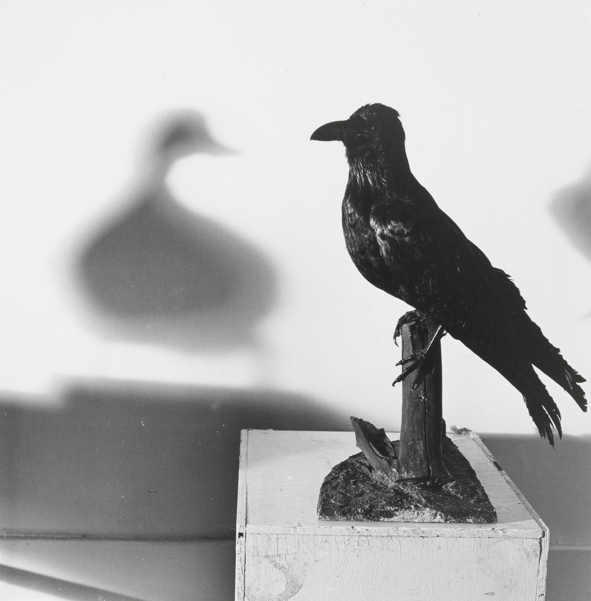 William Wegman. Crow/Duck. 1970
