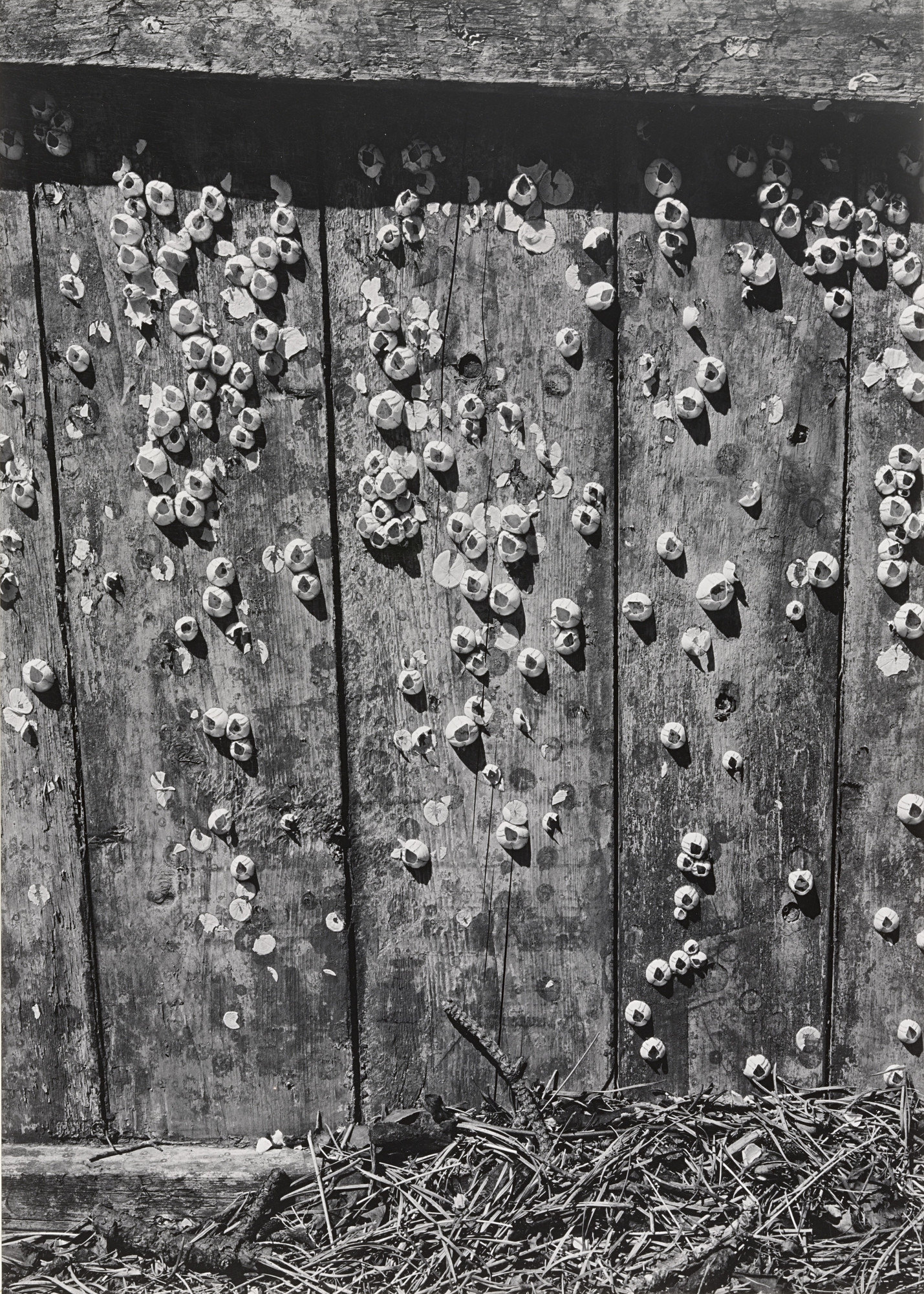 Ansel Adams. Barnacles, Cape Cod. 1939
