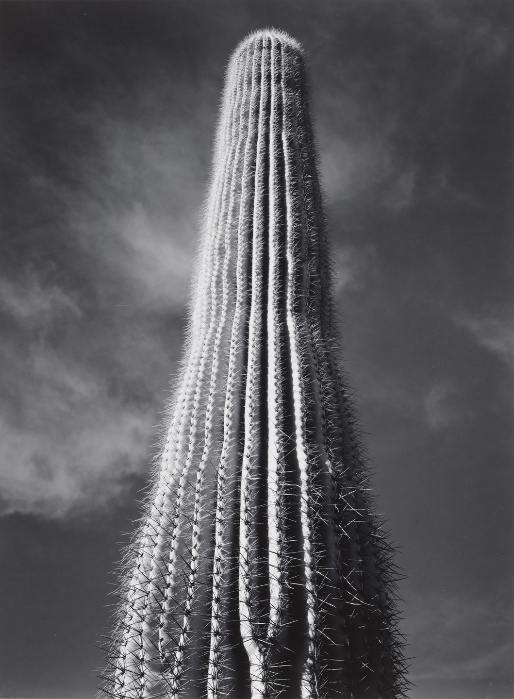 Ansel Adams. Saguaro Cactus, Sunrise, Arizona. 1946
