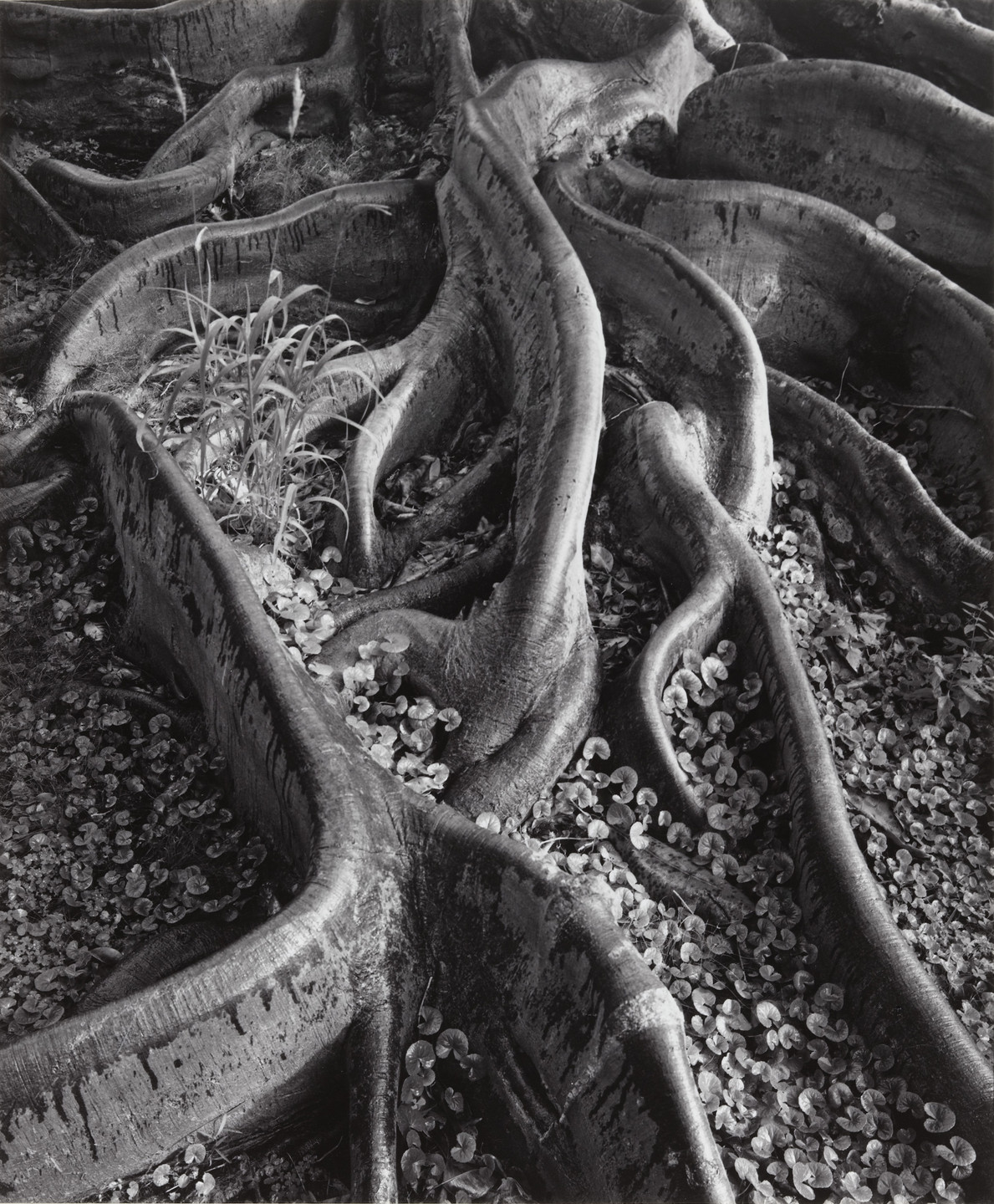 Ansel Adams. Roots, Foster Gardens, Honolulu. 1948