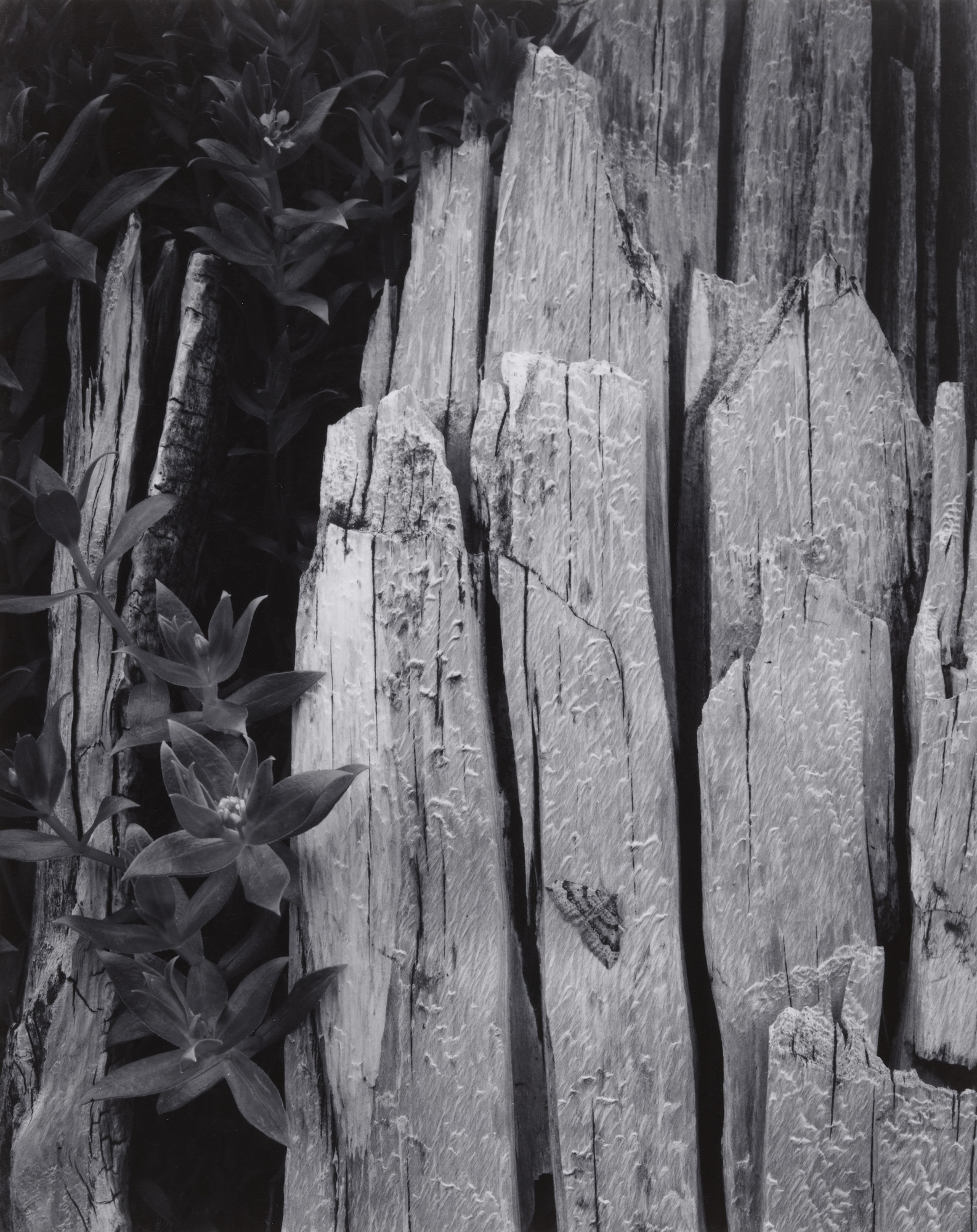 Ansel Adams. Moth and Stump, Interglacial Forest, Glacier Bay National Monument, Alaska. 1949