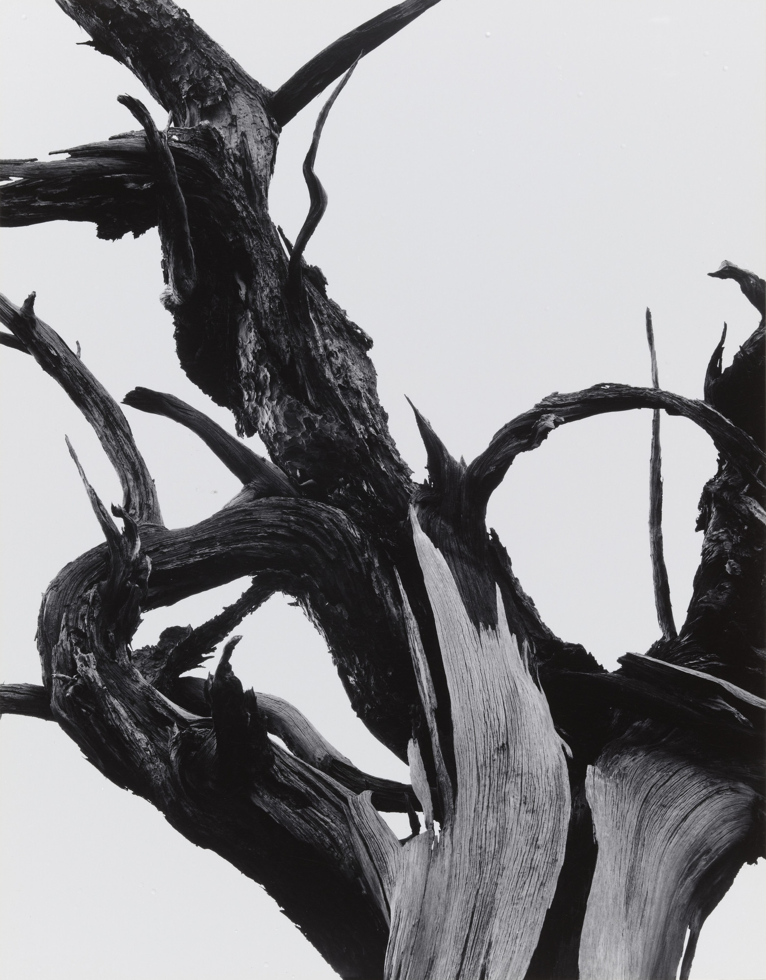 Ansel Adams. Dead Tree, Sunset Crater National Monument, Arizona. 1947