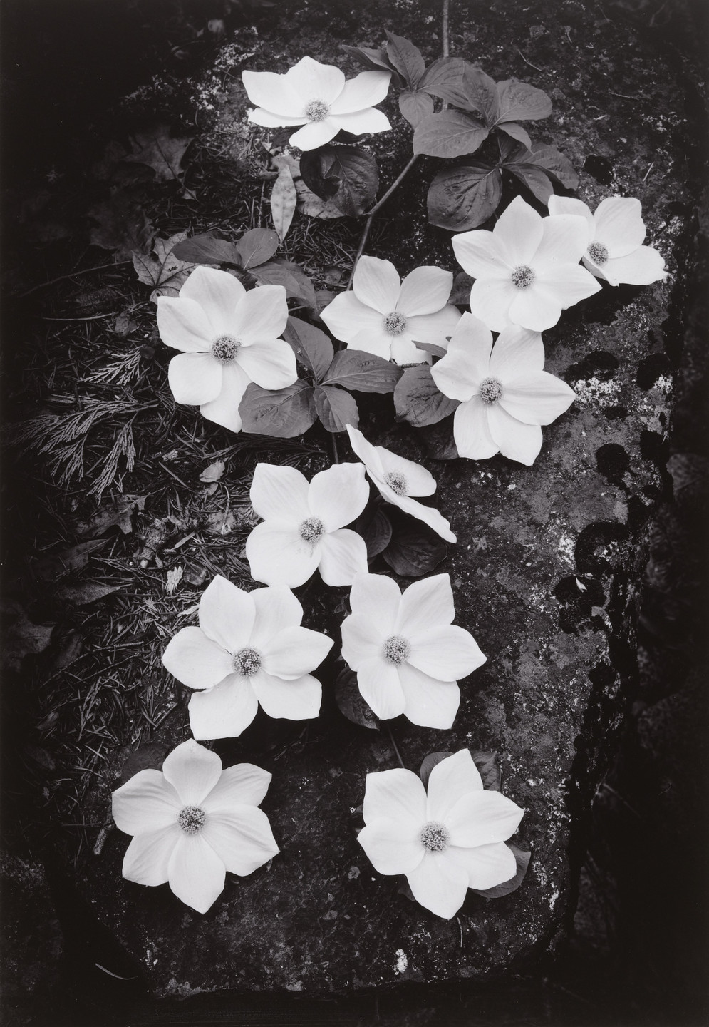 Ansel Adams. Dogwood Blossoms. 1938