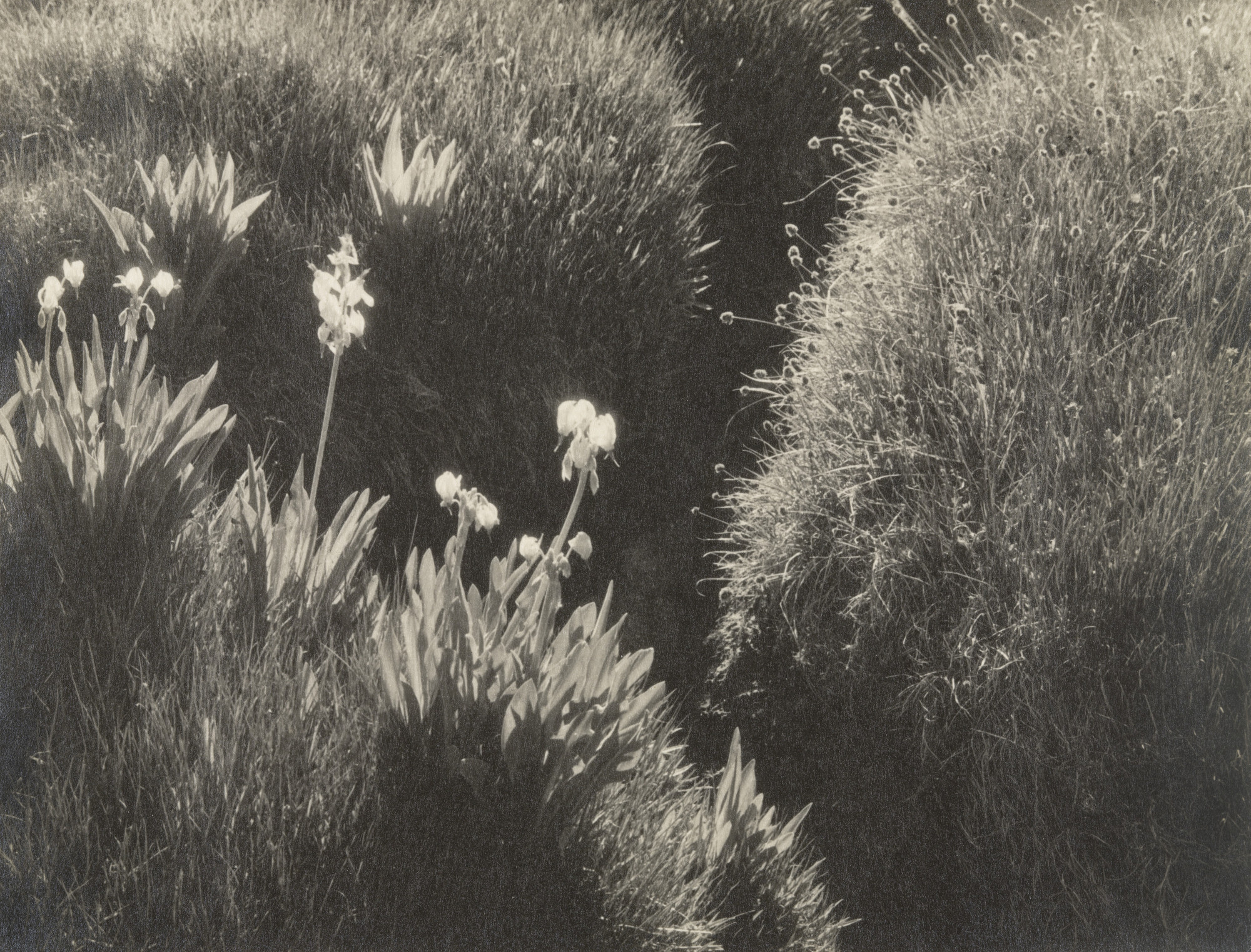 Ansel Adams. Sierra Meadow. 1930
