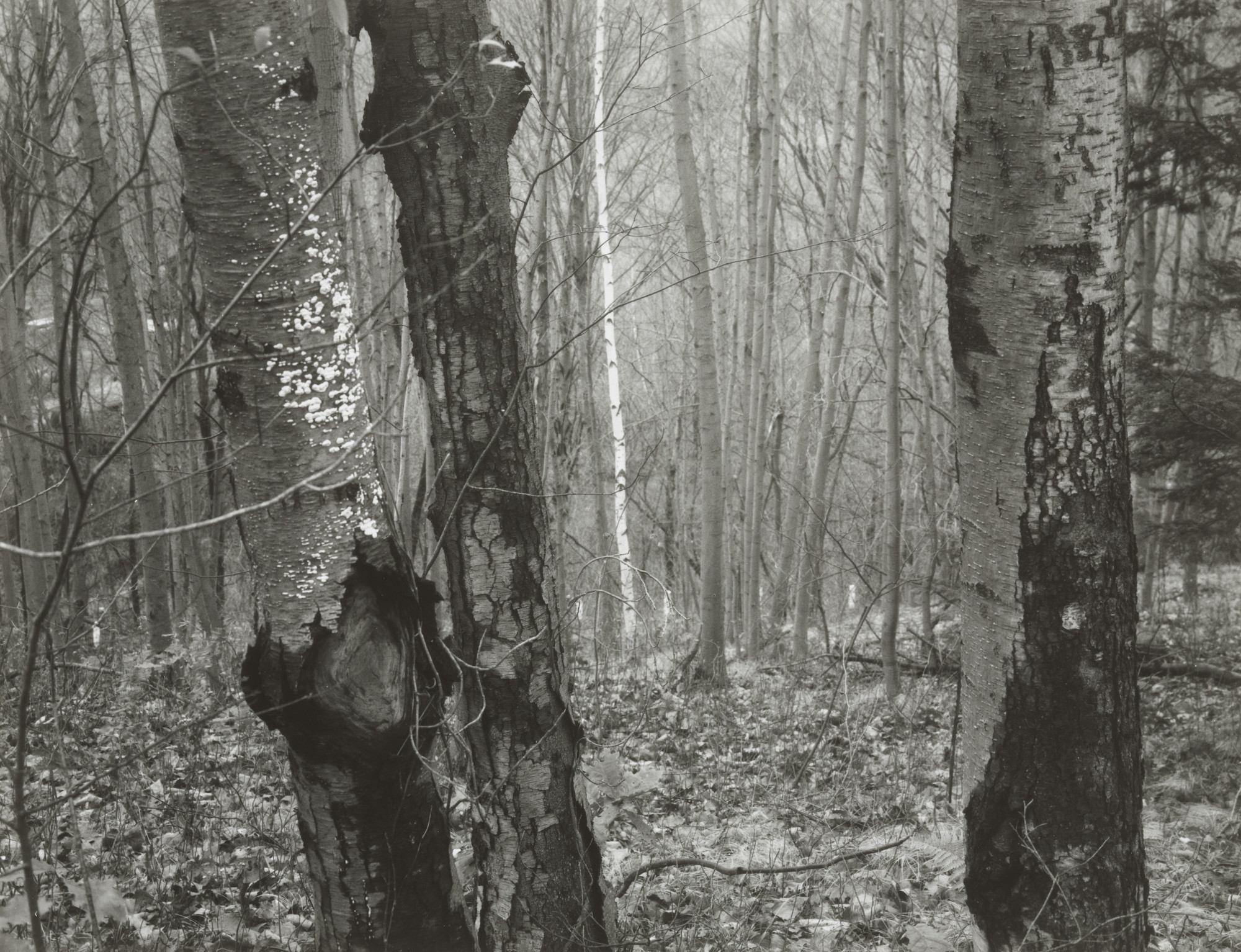 Paul Caponigro. Brewster Woods, New York. 1963