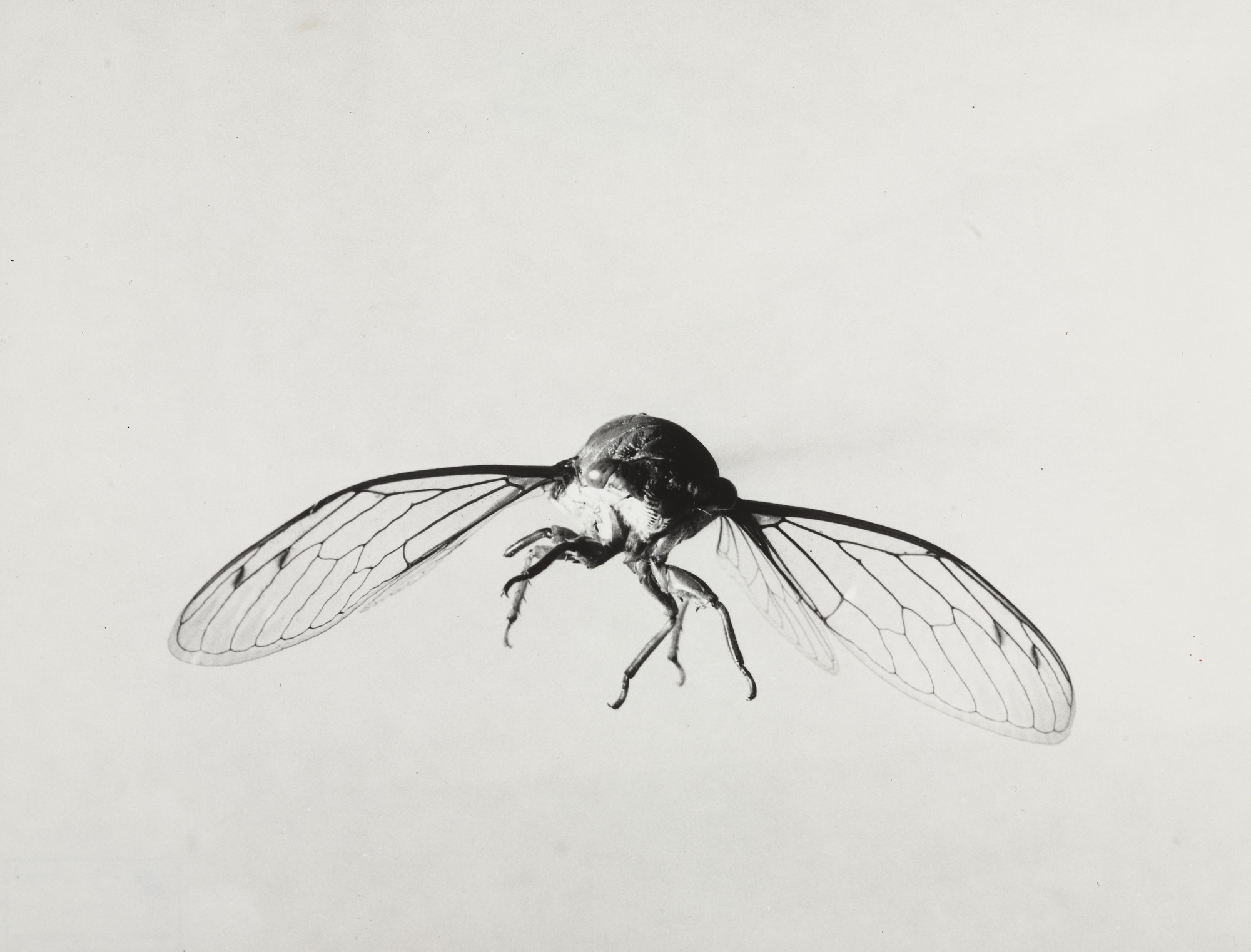Dr. Harold E. Edgerton. Cicada. 1939 or before