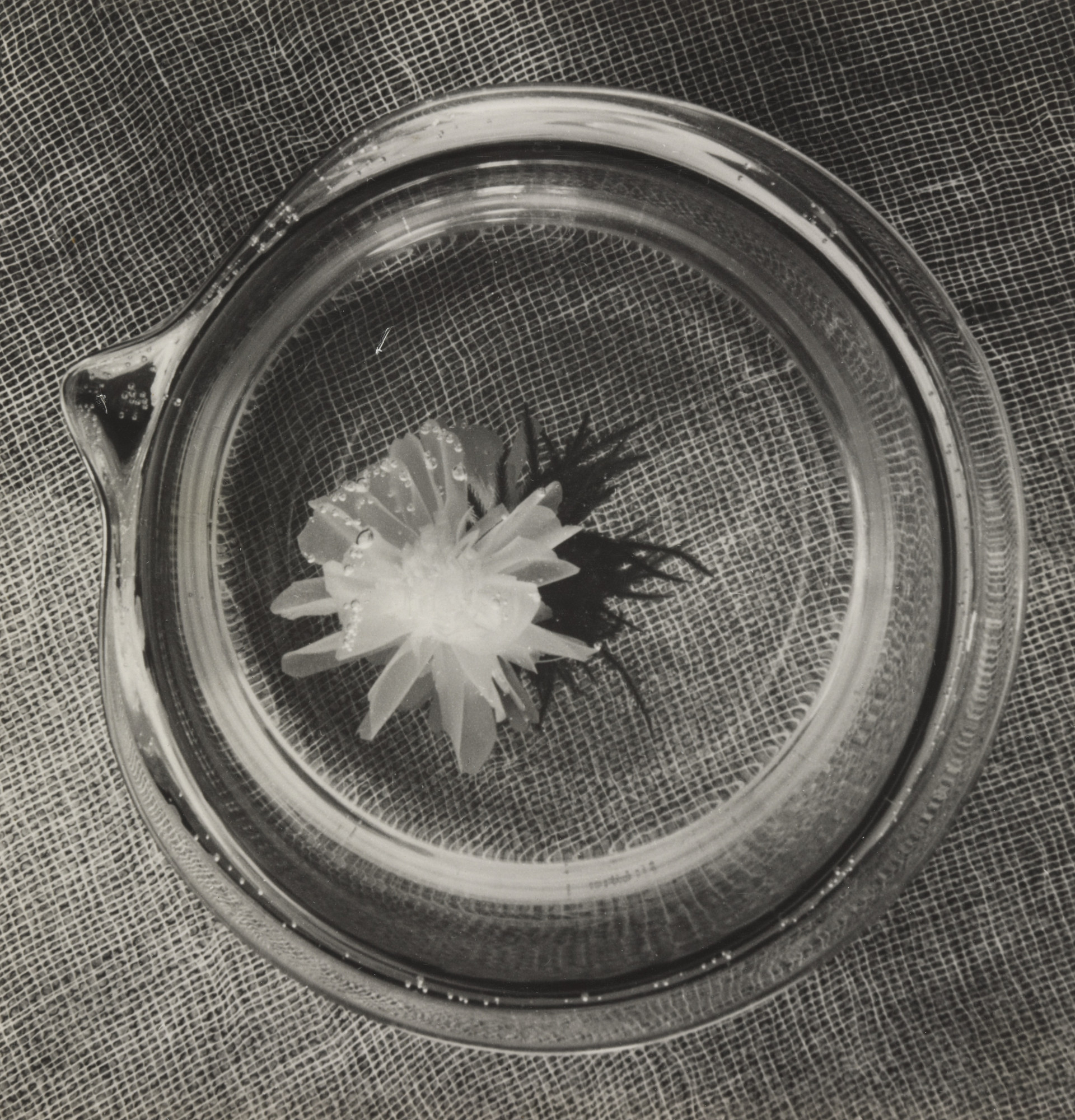 Horacio Coppola. Japanese Flower, Bauhaus, Berlin. November 1932