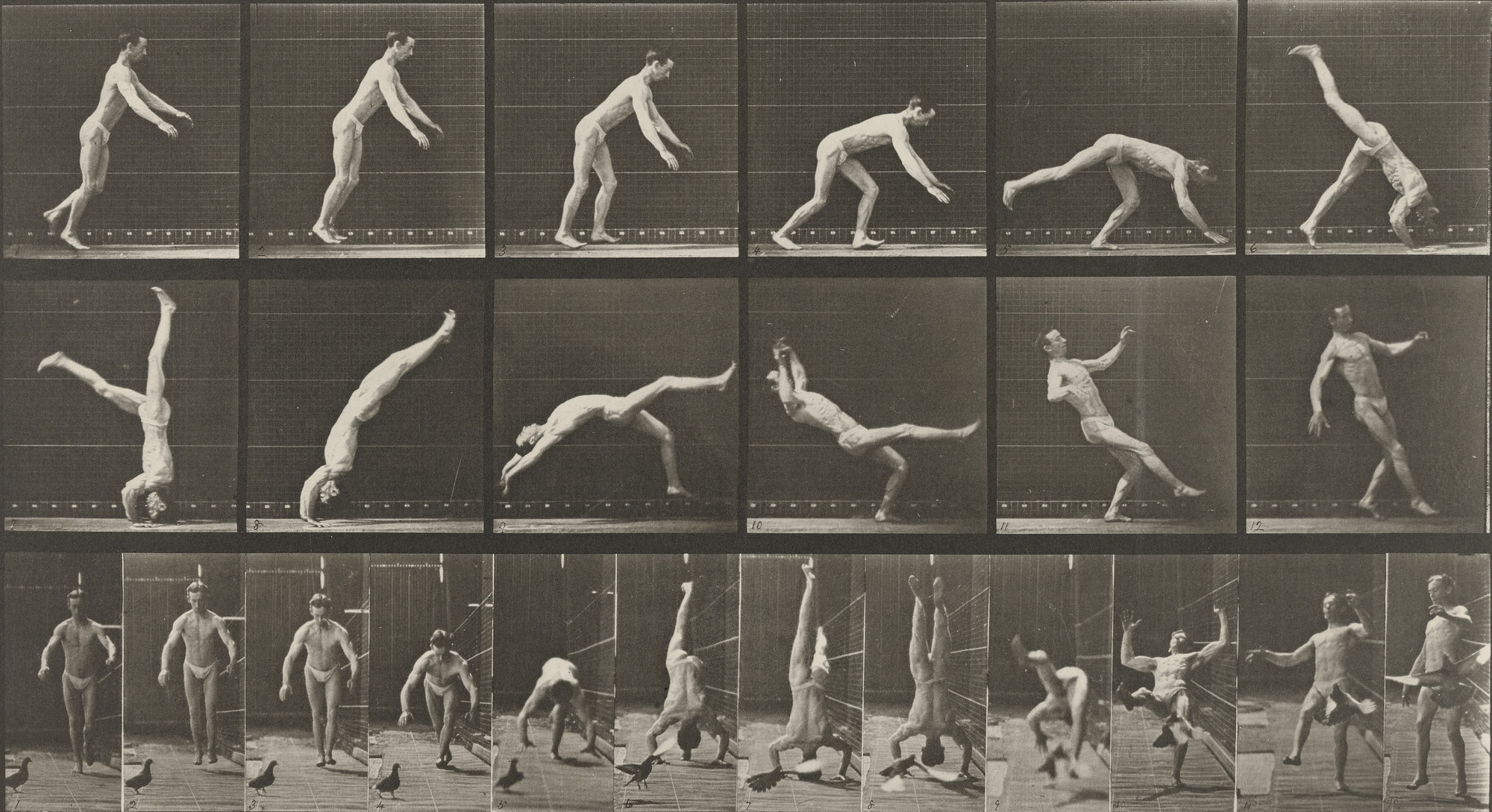 Eadweard J. Muybridge. Head-spring, a Flying Pigeon Interfering: Plate 365 from Animal Locomotion (1887. 1884-86