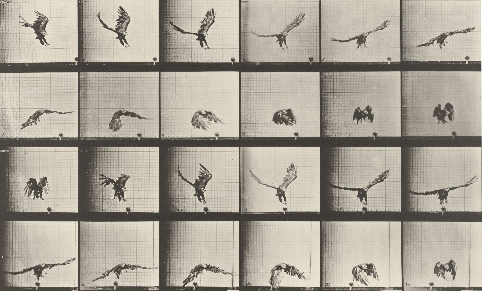 Eadweard J. Muybridge. American Eagle Flying Near the Ground: Plate 771 from Animal Locomotion (1887). 1884-86