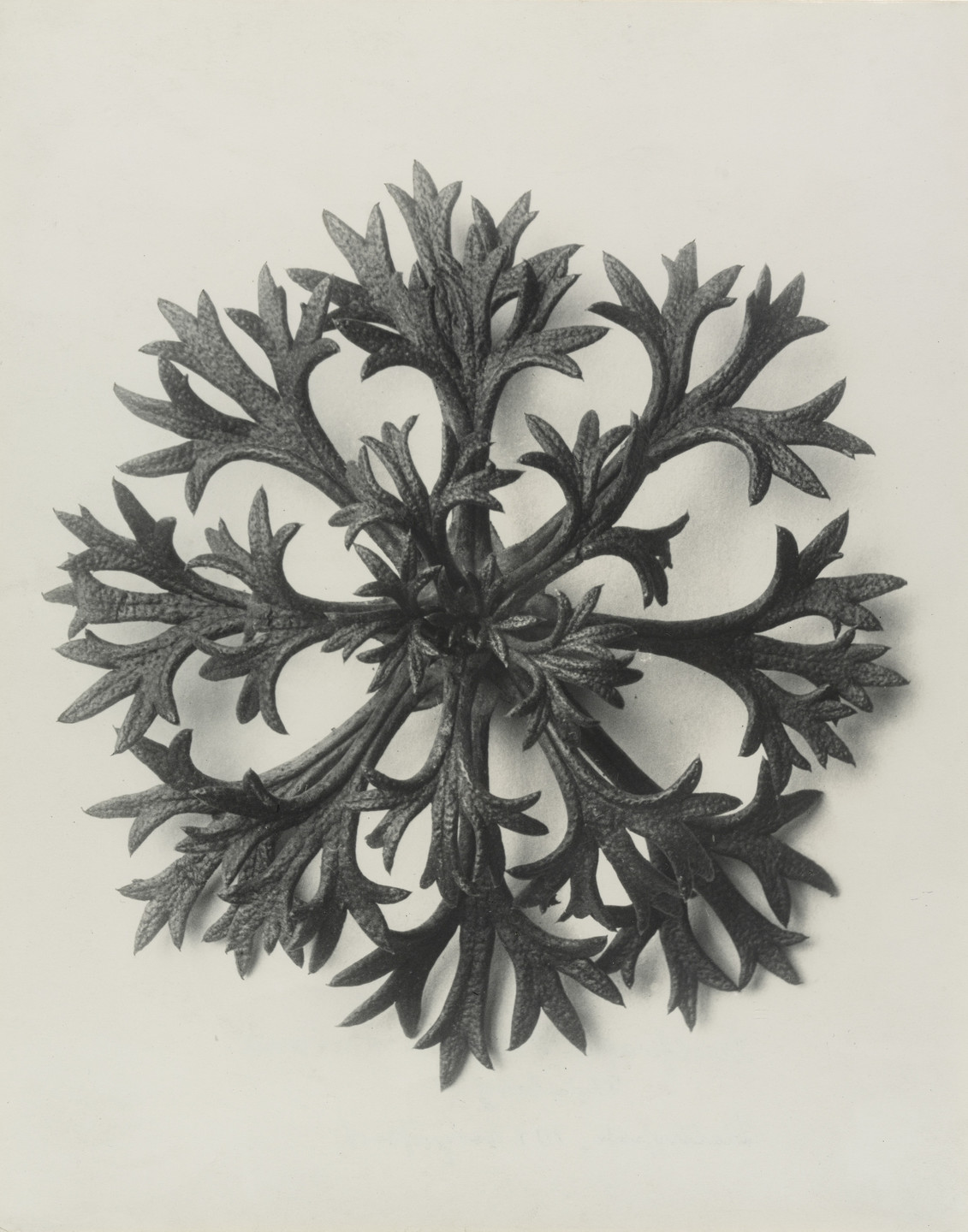 Karl Blossfeldt. Saxifraga wilkommiana (Willkom's Saxifrage. Rosette of Leaves Enlarged 10 Times). 1898–1928