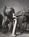 Richard Avedon. Dovima with Elephants, Evening Dress by Dior, Cirque d'Hiver, Paris,. August 1955