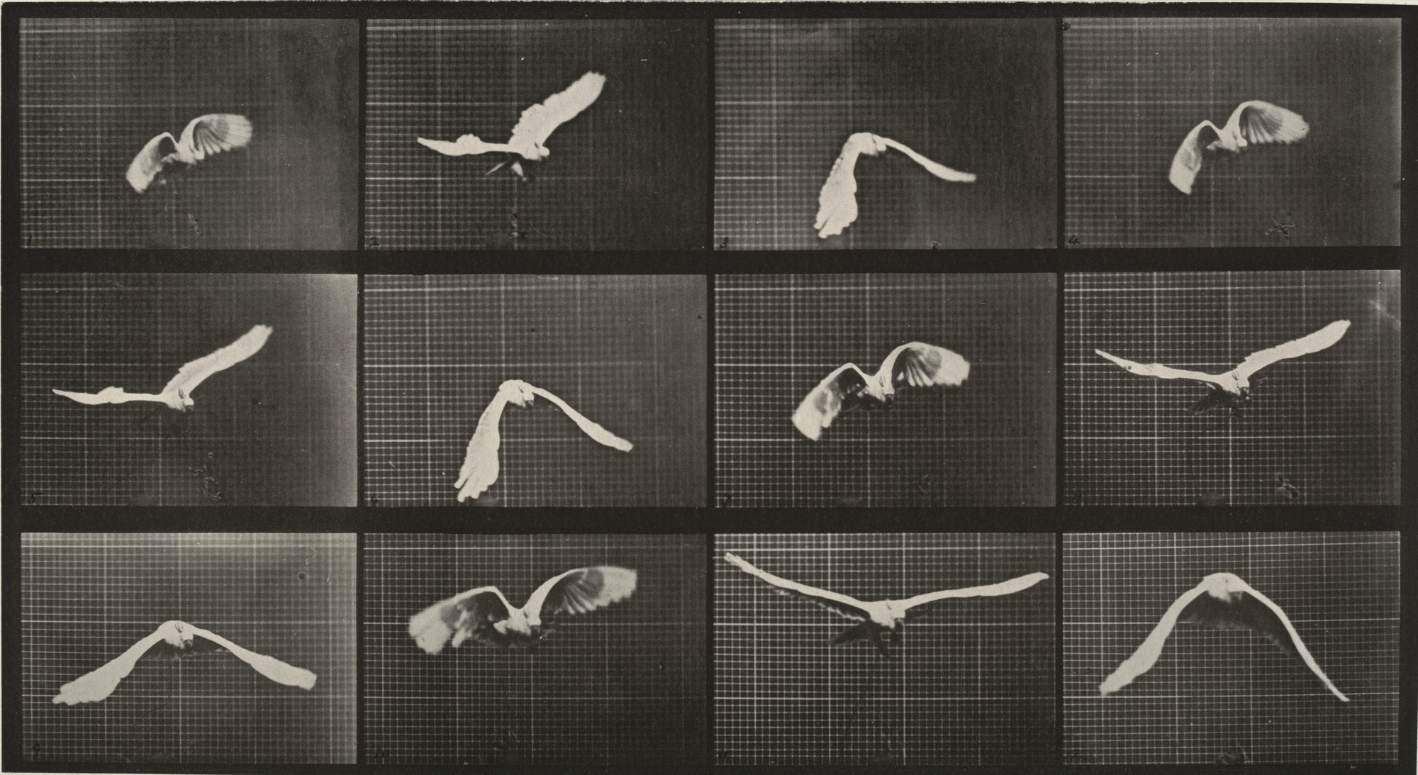 Eadweard J. Muybridge. Cockatoo Flying: Plate 762 from Animal Locomotion. 1884-86