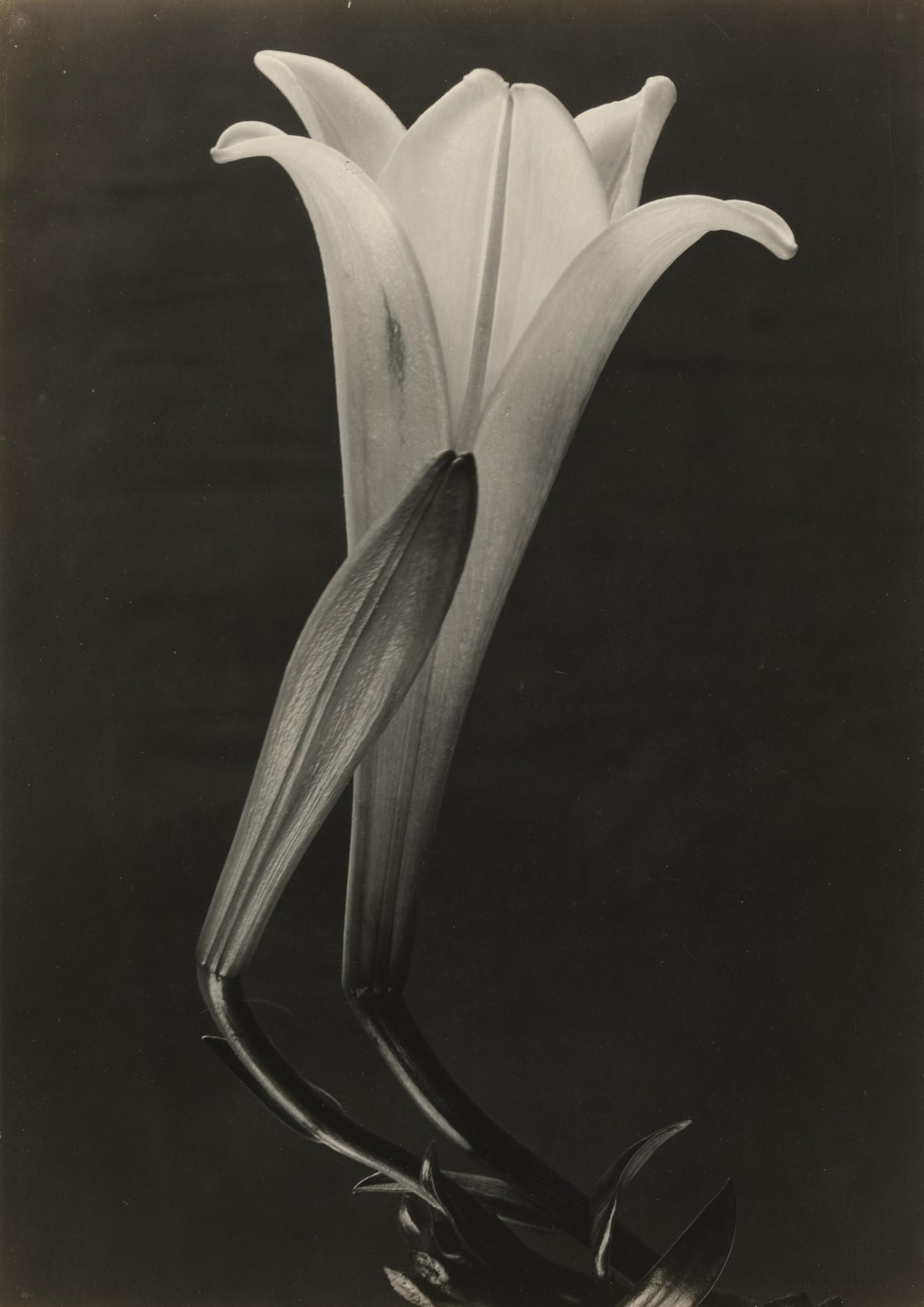 Tina modotti easter lily and bud c 1925 moma tina modotti easter lily and bud c 1925 izmirmasajfo