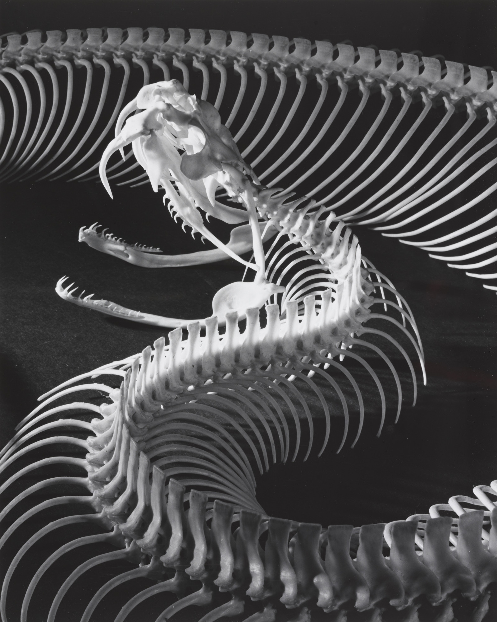Andreas Feininger. The Skeleton of a Gaboon Viper. 1952