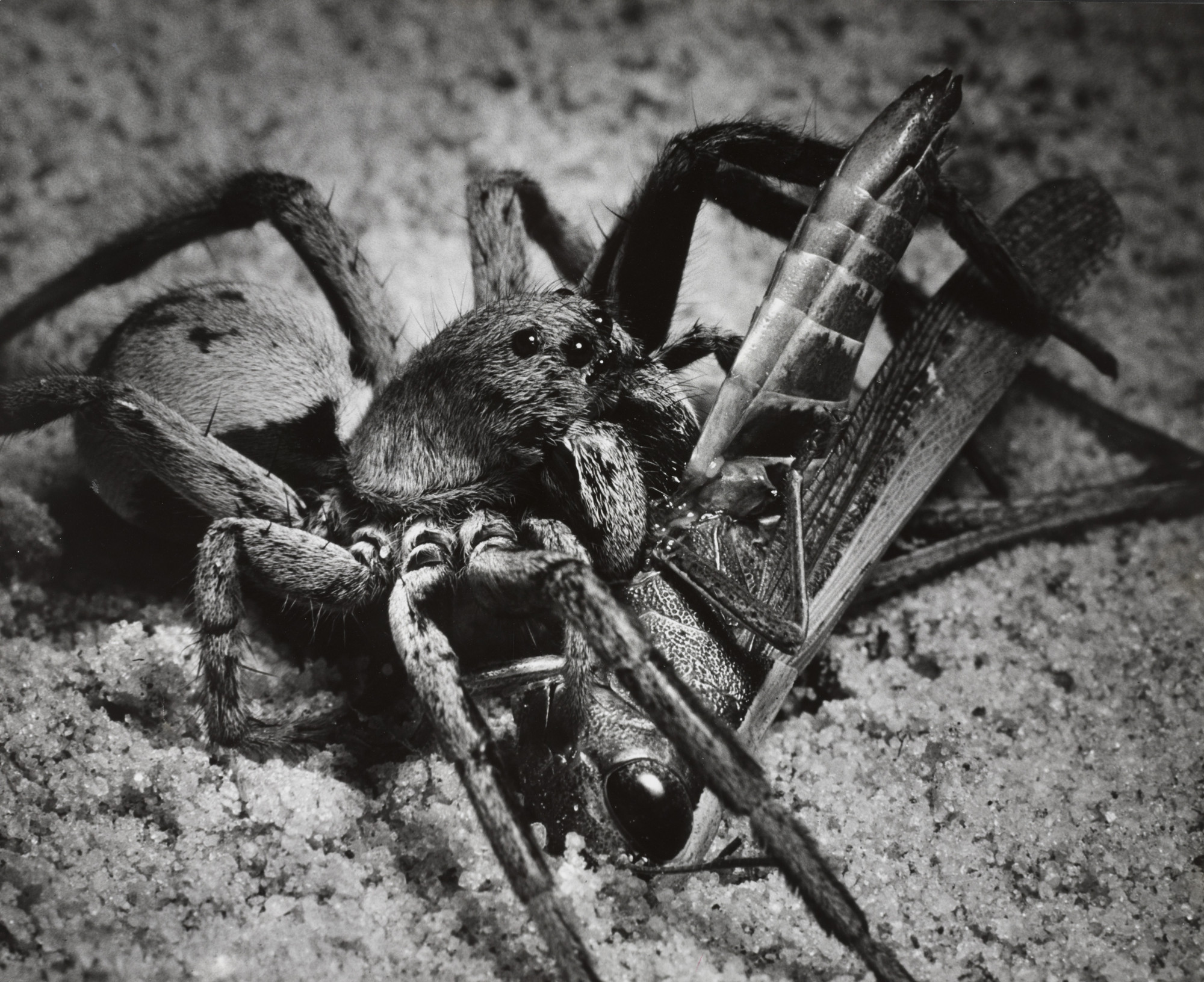 Andreas Feininger. Wolfspiders Eating Grasshoppers. 1951