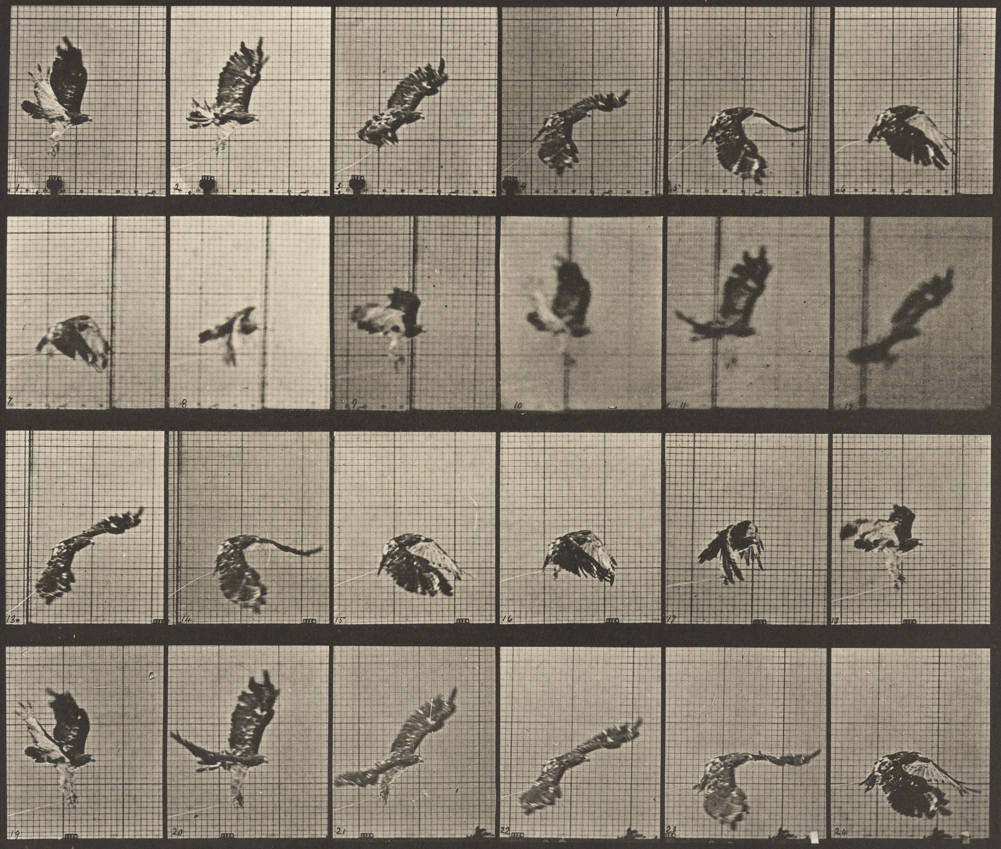Eadweard J. Muybridge. Red-Tailed Hawk Flying: Plate 763 from Animal Locomotion. 1884-86