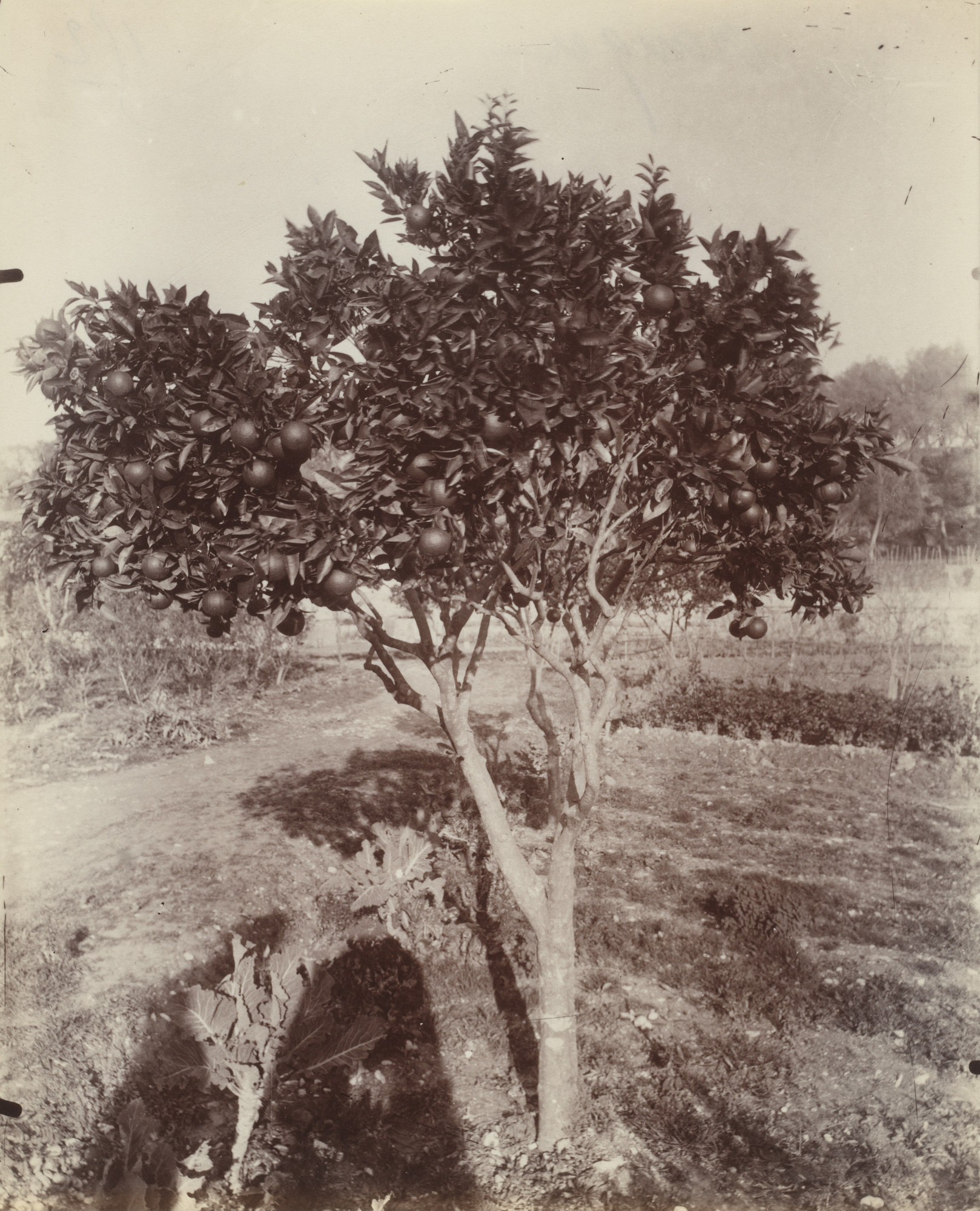 Eugène Atget. Orange Tree. Before 1900