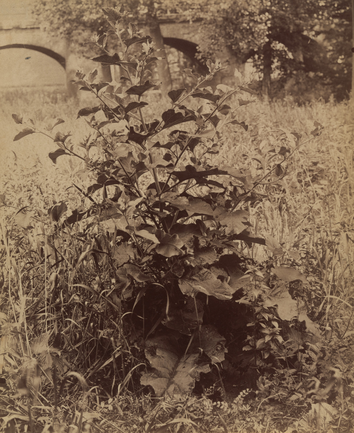 Eugène Atget. Untitled (plant). Before 1900