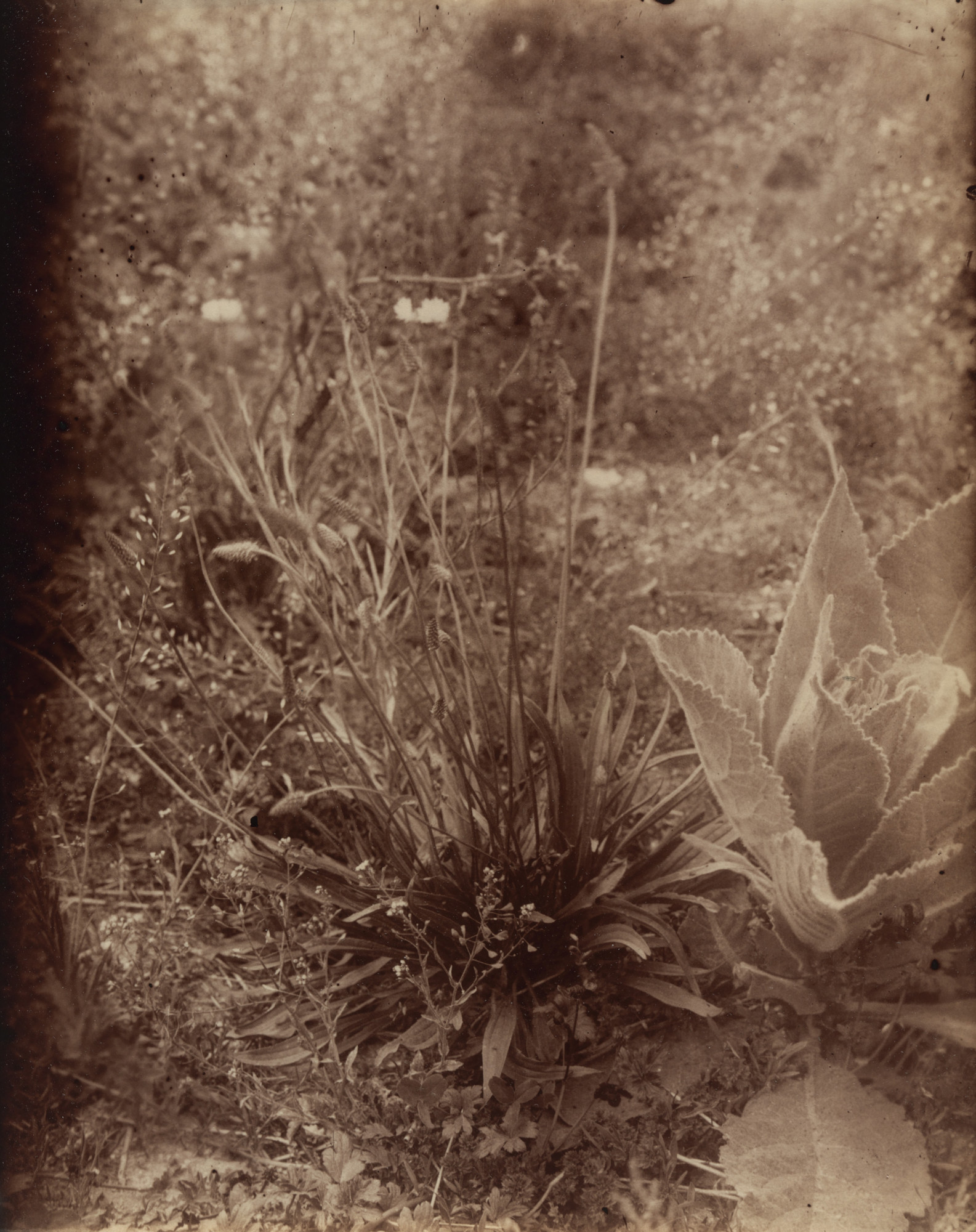 Eugène Atget. Plantain. Before 1900