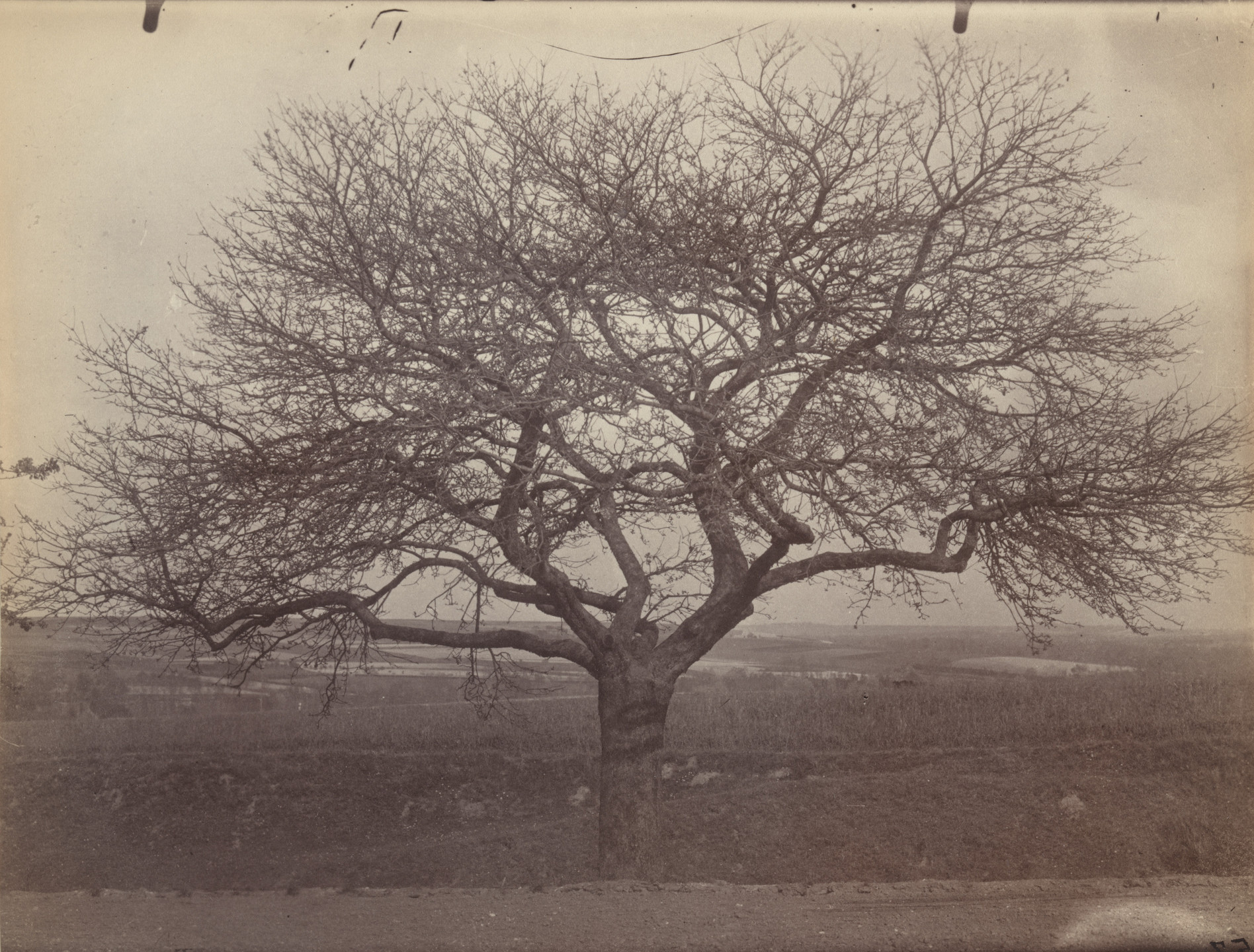 Eugène Atget. Untitled (fruit tree). Before 1900