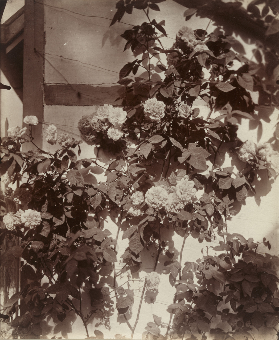 Eugène Atget. Rosier grimpant. Before 1900