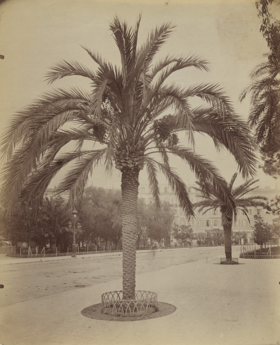 Eugène Atget. Untitled (Nice, palm tree). Before 1900