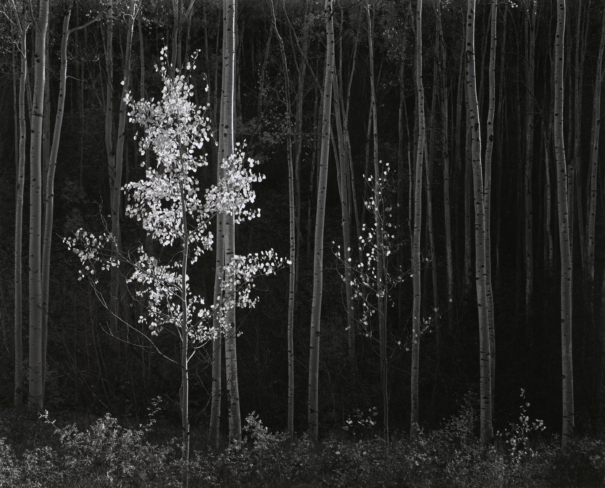 Ansel Adams. Aspens, Northern New Mexico. 1958
