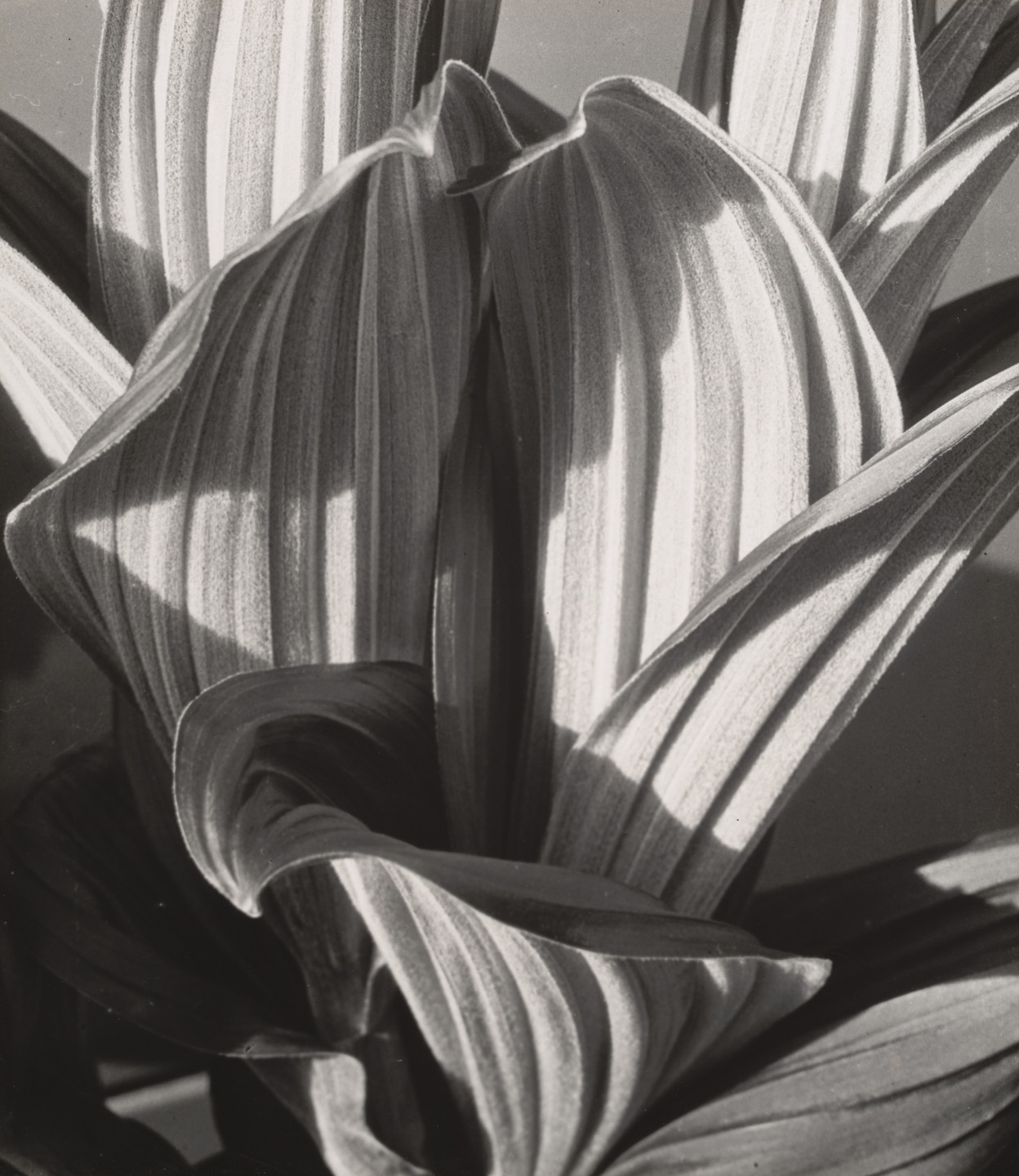 Imogen Cunningham. Glacial Lily. 1927